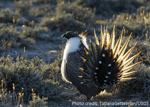 Sage Grouse - Photo supplied by USGS